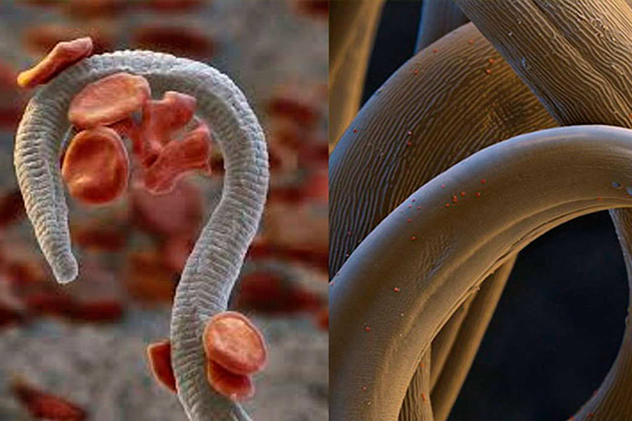 DIROFILARIOZA – groźna choroba przenoszona przez komary DIROFILARIOZA – groźna choroba przenoszona przez komary - Royal Vet - weterynarz Zamość