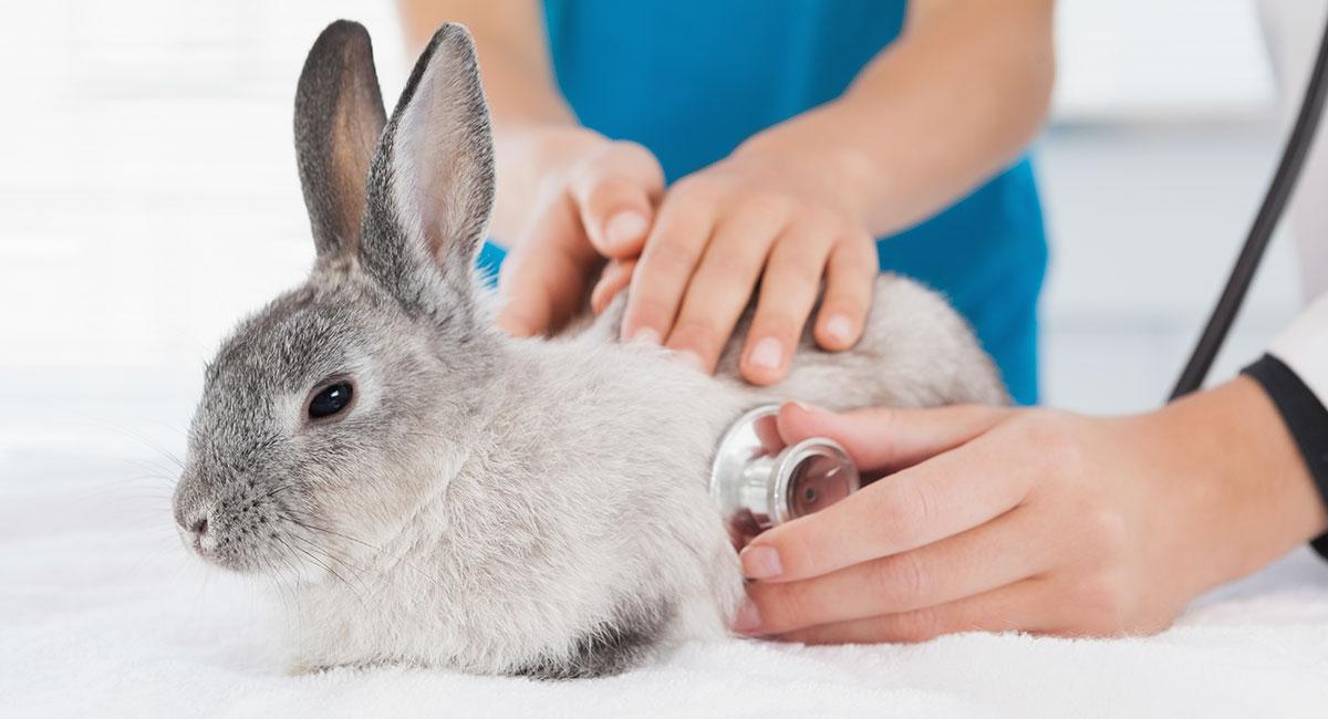 Leczenie królików i gryzoni Leczenie królików i gryzoni - Royal Vet - weterynarz Zamość
