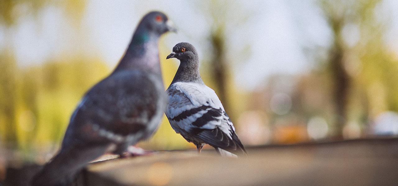 Choroby pasożytnicze gołębi Choroby pasożytnicze gołębi - Royal Vet - weterynarz Zamość